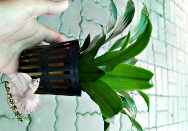 [阿波羅千年木水耕植物] 需自備花器  室內佳