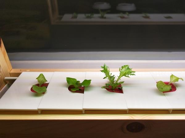 三個月菜苗包 有機蔬菜輕鬆種 蔬菜 菜苗 盆栽  LED燈植物栽培種植箱 水耕種植  客廳農場 種植