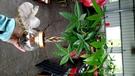 水耕植物盆栽 [編織造型馬拉巴栗 美國花生 發財樹] 室內室外皆可