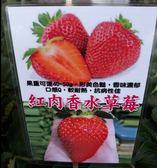 水果苗 ** 紅肉香水草莓 ** 2.5吋盆/高10-25cm/ 改良新品種【花花世界玫瑰園】R