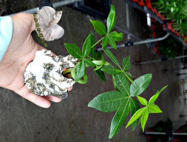石頭植物 [彎曲造型馬拉巴栗 美國花生 發財樹] 室內室外皆可