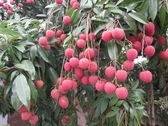 [台中]採果體驗-公老坪農場(柑橘、李子、荔枝、龍眼)
