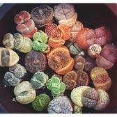 ⓒ生石花混合種子 多肉植物 (20顆裝)【G33】