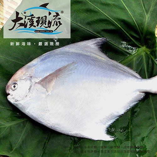 現撈 野生 白鯧魚 ( 小尾 350g±10% )【大溪現流】
