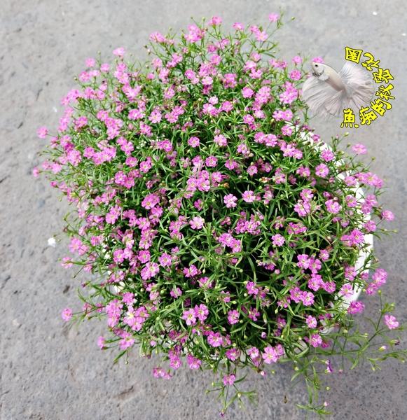 季節限定[滿天星盆栽] 5寸盆 多年生觀賞花卉盆栽 送禮小品盆栽 室外植物