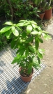 花花世界_喬木植物--金絲楠木--**高級木材**/6吋盆/高20~40CM/TC