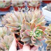 〔新手入門〕CARMO加州夕陽多肉植物成株(3吋)【Z0005】