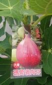 花花世界_水果苗--瑪斯義陶芬(無花果)-- 果個大,顏色艷麗/7吋盆/高30-60cm/Ts