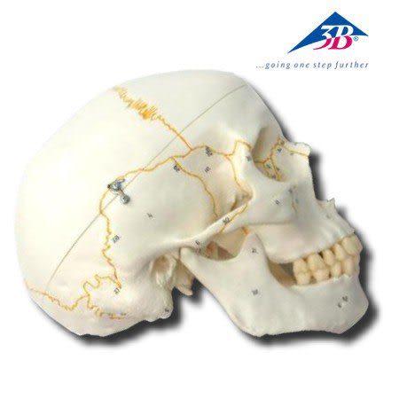 A21德國3B 成人頭顱骨模型(實用的人體模型/人骨模型/骨骼模型/頭骨模型/教學模型/頭顱模型)