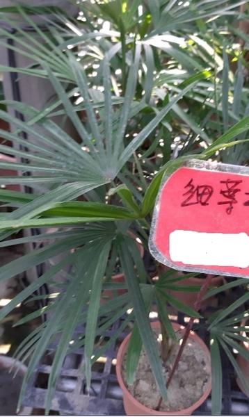 圍籬樹苗 ** 細葉棕竹 ** 6吋盆 / 高 30-50公分/ 庭園綠化材料 【花花世界玫瑰園】m