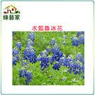 【綠藝家】大包裝H05.魯冰花(水藍色)...