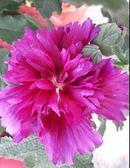 花苗-盆栽 **蜀葵(一丈紅) **6 吋盆/ 高50公分以上/多彩豔麗【花花世界玫瑰園】m