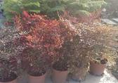 花花世界_圍籬樹苗--南天竹,常綠小灌木--冬季變紅色/6吋苗/高20-30公分/Tm