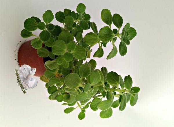 [左手香 倒手香 一抹香] 3寸盆 活體多肉植物 香草植物盆栽, 可食用可泡茶可做手工香皂