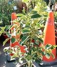 花花世界_水果苗--斑葉花柚柑--令人身心愉悅的花果/7吋盆/高50-60cm/Ts