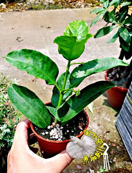 活體 [火箭球蘭 火箭毬蘭 流星毬蘭] 室內植物 3吋盆栽 可以淨化空氣 多年生. 常常開花