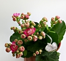 [粉紅色] 重瓣複辦多辦長壽花盆栽  3吋盆活體盆栽