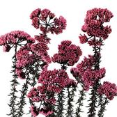 日本進口Earthmatters大地農園,02310傘形花,一支花朵大小隨機,一支約10公分