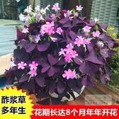 花卉種子 多年生幸運三葉紫葉酢漿草種球種子根盆栽庭院花卉觀花植物室內花-三山一舍