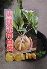 花花世界_水果苗---**焦糖黃肉白柿---**新品種/4吋盆/高30-50公分/Ts