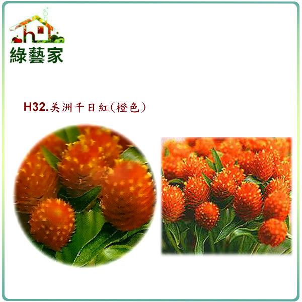 【綠藝家】大包裝H32.美洲千日紅(橙色,高50~70cm)種子300顆