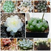 【F33】X高級玉露混合種子(5顆裝) 進口多肉植物種子 琥柏/紫冰燈/黑窗