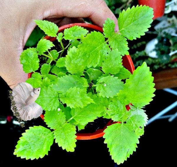 香草植物 檸檬香蜂草盆栽 檸檬味 3吋盆活體盆栽, 可食用可泡茶
