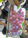 水果苗 ** 紅蜜葡萄 ** 6吋盆/高30-50cm/果粒大 果色鮮紅【花花世界玫瑰園】m