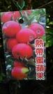 ** 熱帶蜜蘋果 ** 4.5吋盆/高4...
