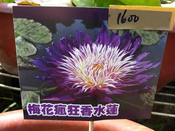 水生植物 ** 梅花瘋狂(Plum Crazy) ** 8吋盆/ 高20-30公分/ 國際知名香水蓮【花花世界玫瑰園】R