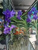 花花世界_節氣花卉--嘉德麗雅蘭花--萬代蘭--**花色美麗**/4吋盆/高30公分/ TC