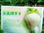 花花世界_水果苗--白晶鑽草莓,味道微酸甜度高 --果實碩大飽滿 /3吋/約高8-12cm/Tm
