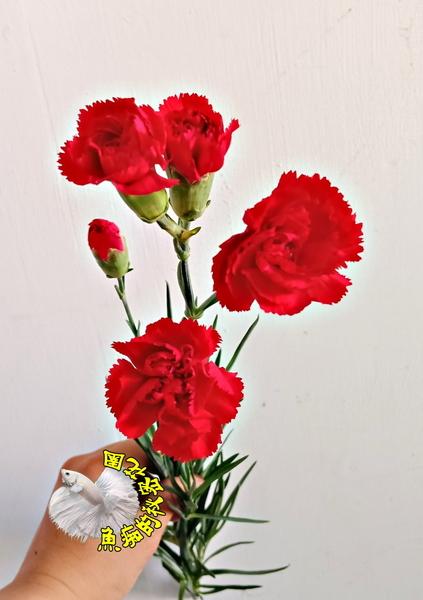 單枝價錢[ 紅色康乃馨鮮花] 只寄冷藏/不能跟活體植物&冷凍飼料一起寄~一起買需兩筆運費