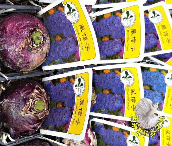 [超香 紫色風信子盆栽] 2.5寸盆 室內濃香花卉 多年生球根類觀賞花卉盆栽
