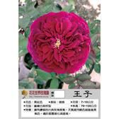 花花世界_玫瑰苗--王子,花朵碩大飽滿--強香/7吋盆苗(一人高)/高120~150公分/Tm