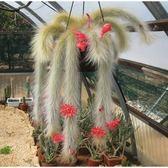 ⓒ長毛猴尾柱種子Hildewintera colademononis(10顆裝) 【D11】