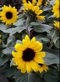 季節花卉 ** 矮種向日葵 ** 5吋盆/高30-40cm 花色亮麗 花型動人【花花世界玫瑰園】m