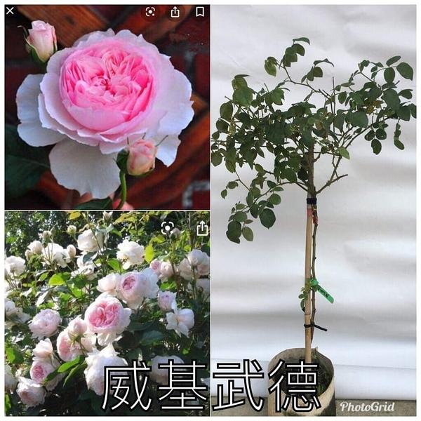 1箱限1盆[威基武德] 8吋盆嫁接樹玫瑰花盆栽 幾乎四季開花~務必先問有沒有貨~花牆.庭院拱門
