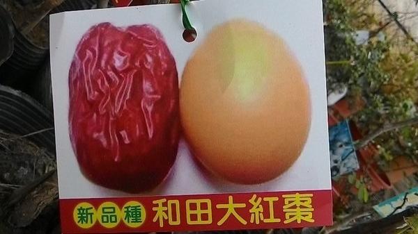 水果苗 ** 和田大紅棗 和闐大紅棗 ** 4.5吋盆/高25-30cm/果大核小【花花世界玫瑰園】s