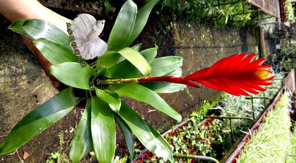 [鴻運當頭 玉扇鳳梨花] 室內植物  3吋活體盆栽 送禮小品盆栽