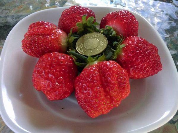 [屏東]採果體驗-莓洋洋草莓園(每年1-5月 草莓)