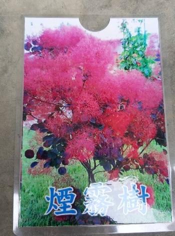 花花世界_襯景植物--煙霧樹--新的高級花材/5吋盆/高20-30cm/Ts