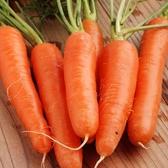 CARMO新黑田五吋胡蘿蔔種子 園藝種子(單份) 【FR0074】