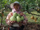 [台東]採果體驗-初鹿椰子林〔釋迦〕
