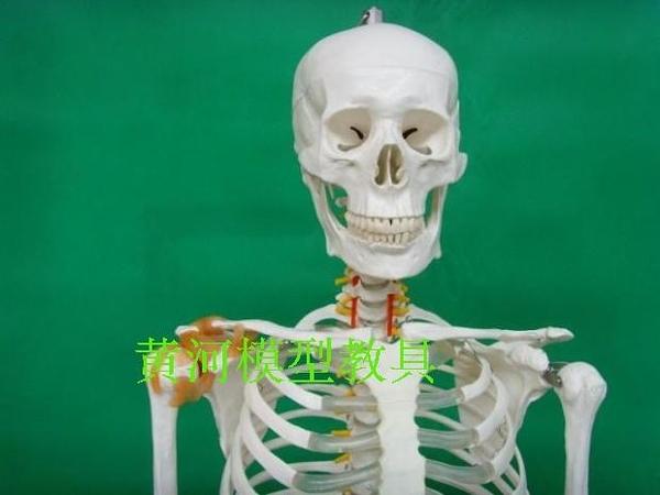 醫學 170CM 人體骨骼骷髏 骨架人 成人一比一比例骨骼帶韌帶模型