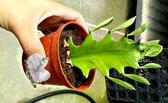 [龍骨仙人掌] 活體多肉植物 仙人掌多肉盆栽 3吋盆