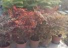 花花世界_圍籬樹苗--南天竹,常綠小灌木--冬季變紅色/8吋盆/高60公分/Tm