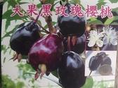 ** 大果黑玫瑰櫻桃 ** 3.5吋盆/高20-35cm OvO