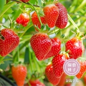CARMO 四季草莓/白草莓/盆栽草莓種子 園藝種子(50顆) 【FR0036】