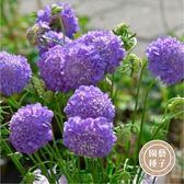 CARMO 西洋松蟲草/紫盆花種子 園藝種子(20顆)【FR0028】